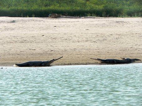 Gharial, Crocodile, Chambal River, Sanctuary