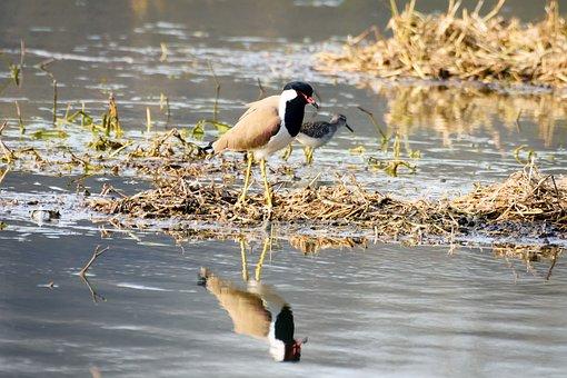 Bird, Reflection, Swan, Water, Animal, Wildlife, Nature
