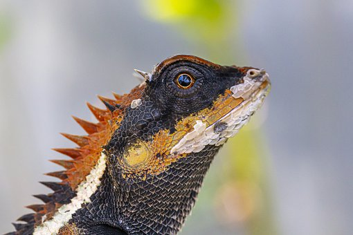 Emma Gray's Forest Lizard, Calotes Emma, Thailand