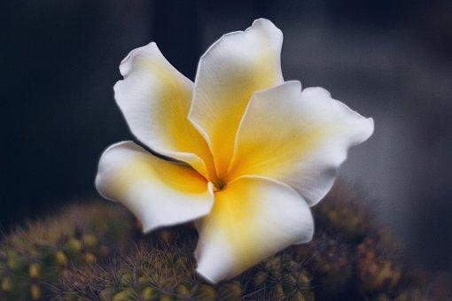 Plumeria, Flower, Thailand, Bali, Asia, Flowers, Nature