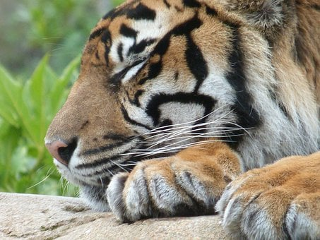 Cat, Sleeping, Tiger, Tired, Wild Animal, Stripes