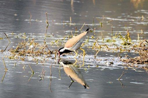 Bird, Reflection, Water, Animal, Wildlife, Nature, Lake