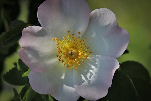 Stamens, Closeup, Wild Rose, Glow, The Smell Of