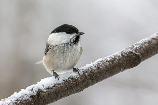 Willow Tit, Poecile Montanus, Bird