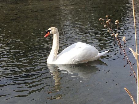 Swan, Graceful, Pond, Romantic, Bird