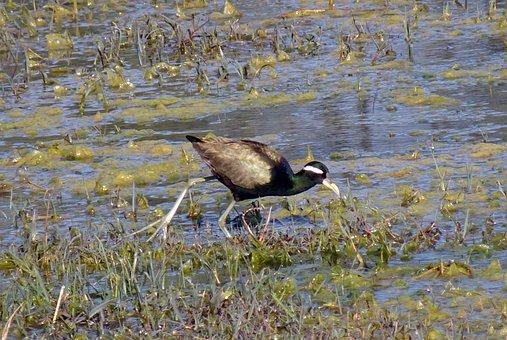 Bird, Bronze-winged Jacana, Metopidius Indicus, Jacana