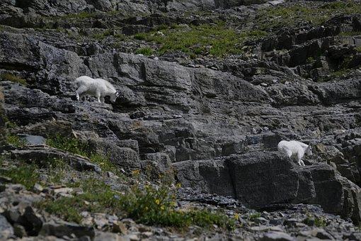 Glacier National Park, Mountain Goats