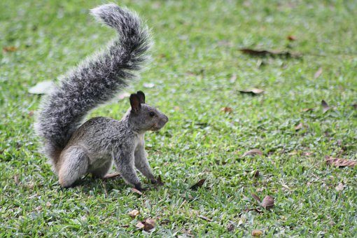 Squirrel, Grass, Nature, Animal