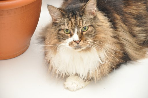 Cat, Maincoon, Domestic Cat, Animal