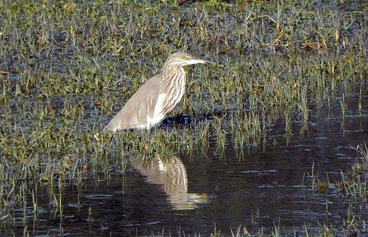 Bird, Pond Heron, Indian Pond Heron, Paddybird