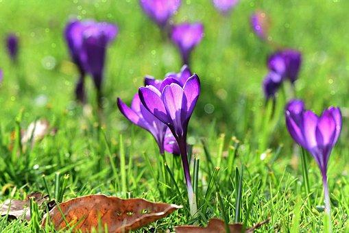 Crocus, Spring Flower, Plant, Blossom, Grass, Sunlight