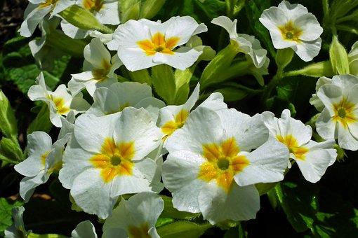 Prymulki, Flowers, Spring, Primula, Plant, Nature