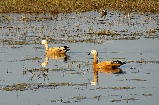 Bird, Ruddy Shelduck, Tadorna Ferruginea, Brahminy Duck