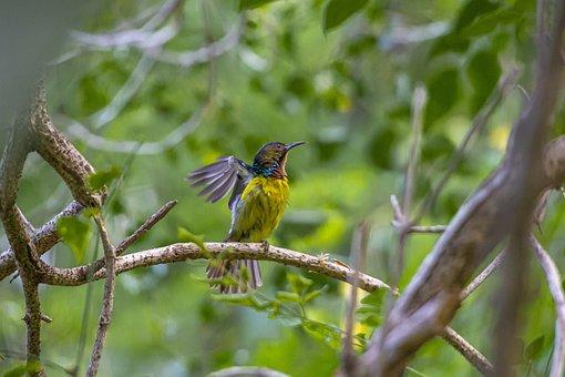Sunbird, Bird, Thailand, Rainforest