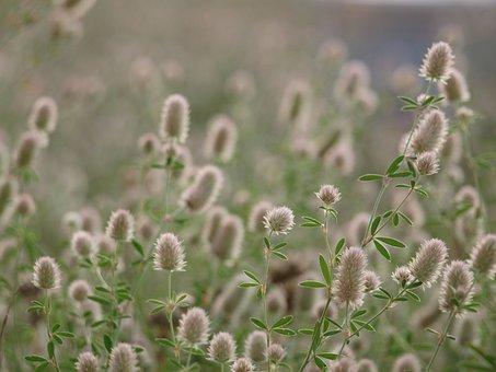 Timothy Grass, Grass, Nature, Meadow