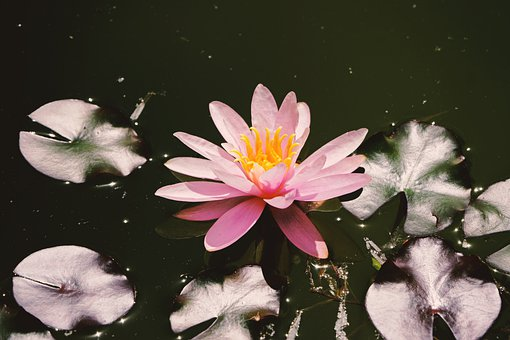 Water Lily, Pink, Blossom, Bloom, Aquatic Plant, Nature