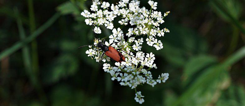 Red Beetle, White Floret, Nature, Background