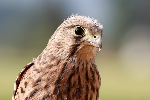 Falcon, Young Hawk, Freilebend, Raptor, Bird Of Prey