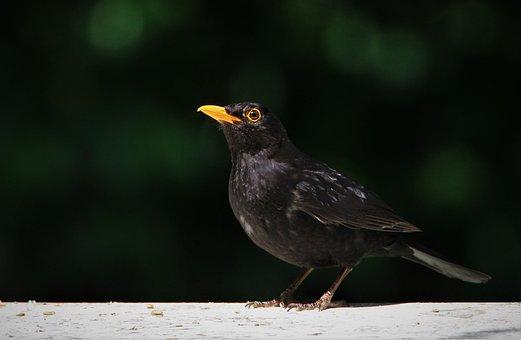 Blackbird, Throttle, Black, Bird, Eye, Nature, True