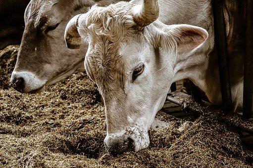Cow, Stall, Barn Animals, Animals, Farm