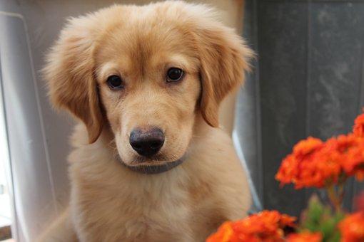 Dog, Golden Retriever, Pet, Cute, Puppy