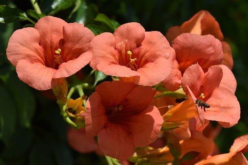 Flowers, Red, Orange, Campsis, Radicans, Trumpet