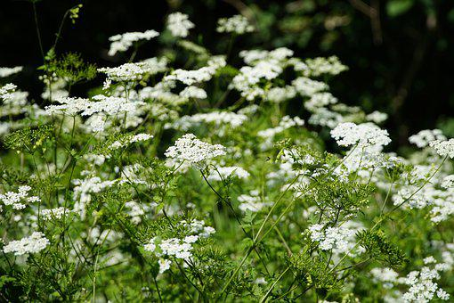 Anthriscus, Forest, White, Flowers
