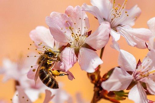 Bee, Insect, Honey Bee, Pollen, Garden, Nectar, Nature