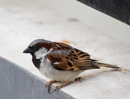 House Sparrow, Male, Sparrow, Avian