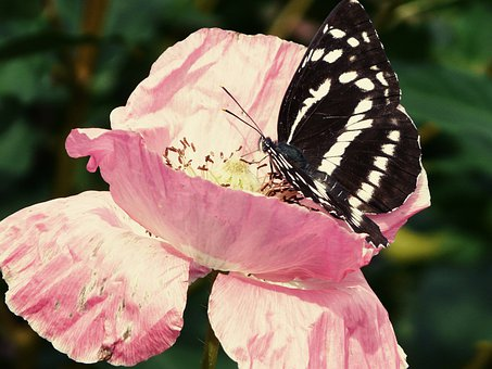 Butterfly, Insect, Green, Black, Wings, Fly, Nature