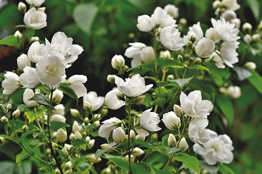 Scent Of Jasmine, Jasmin, Ornamental Shrub