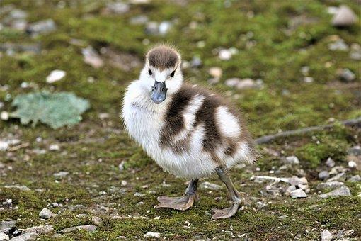 Animal, Egyptian Goose, Bird, Park, Lake, Water Bird