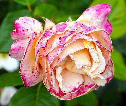 Rose, Flower, Blossom, Bloom, Withered, Nature, Flora