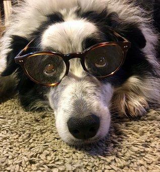 Dog, Border Collie, Glasses, Pet, Purebred Dog