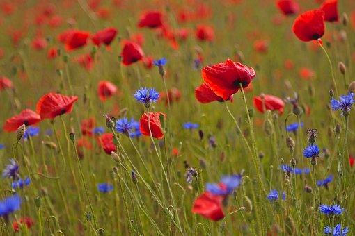 Poppies, Poppy Field, Cornflowers, Klatschmohn, Poppy