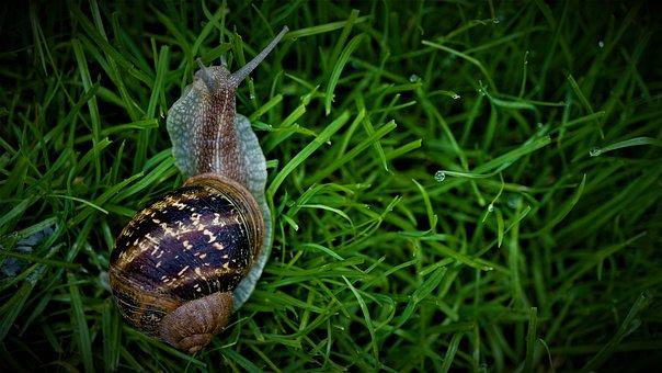 Snail, Rush, Grass, Garden, Mucus, Reptile, Shell