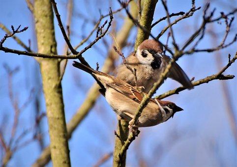 Sparrow, Sperling, Bird, Birdie, Plumage, Feather