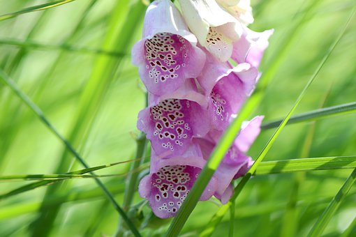 Thimble, Common Foxglove, Meadow, Grass