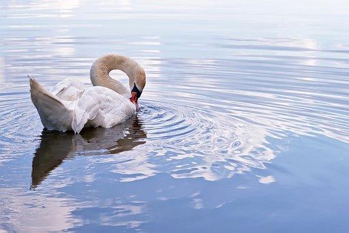 Swan, Mute Swan, Water Bird, Schwimmvogel, Bird, Animal