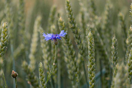 Cornflower, Wheat Field, Cornfield