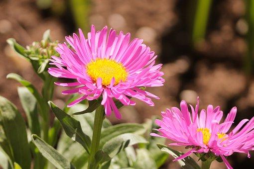 Aster, Pink, Callistephus Chinensis, Garden Aster