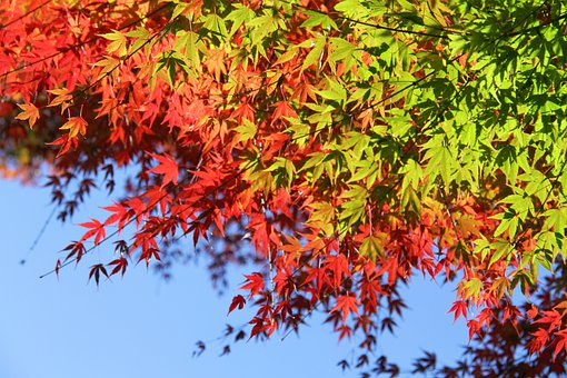 Maple, Autumn, Red, Leaves, Leaf, Fan, Nature, Wood