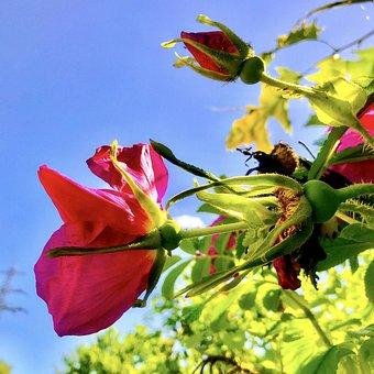 Potato Rose, Apple Rose, Wild Rose, Bush, Roses, Flora