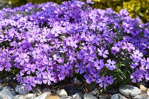 Phlox, Cushion Phlox, Carpet Phlox, Spring, Purple