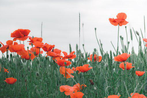 Summer, Field, Wheat Field, Poppies, Backlighting