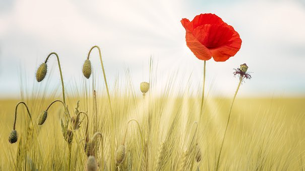 Poppy, Summer, Bright, Flowers, Nature, Plant, Sun