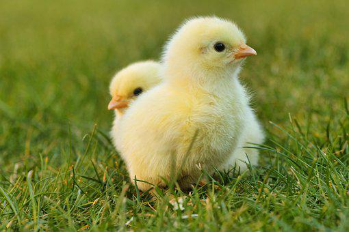 Chicks, Easter Chick, Easter, Yellow, Fluffy, Cute