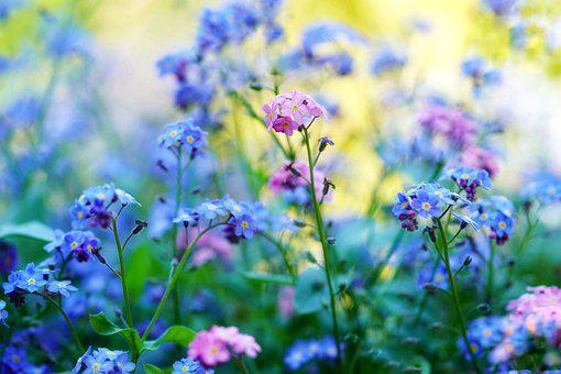 Forget Me Not, Forget My Not, Pointed Flower