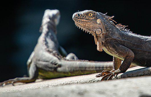 Iguanas, Reptiles, Lizard, Dragon, Animal, Scale