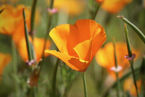 Gold Poppy, Poppy Flower, California, Kappenmohn